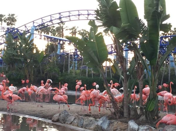 Flamingos at SeaWorld San Diego